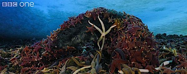 starfisheatseal